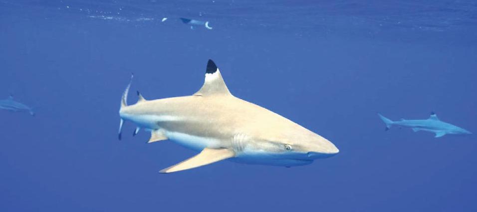 shark_bali