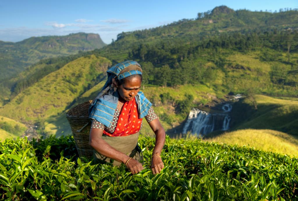 Sri Lanka tea plantation
